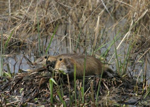Nutria Fish and Wildlife Service