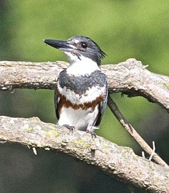 Kingfisher Bob Abraham Radford river walk July 23 2014