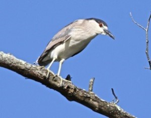 Black-crowned Night Heron New River Parrott June 2014 TWO from Bob Abraham