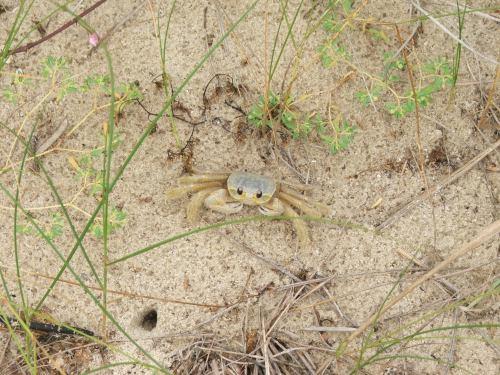 035 Ghost Crab at Kiptopeke SP Oct7