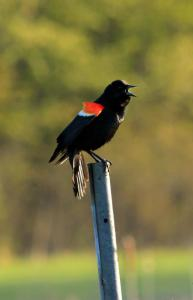Red-winged Blackbird male in Canada, Spring 2013.  Photo courtesty of Laura Schoenle, rcvd Mar 31 2015.