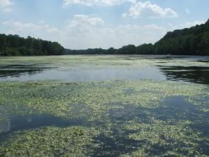 New Rive algae