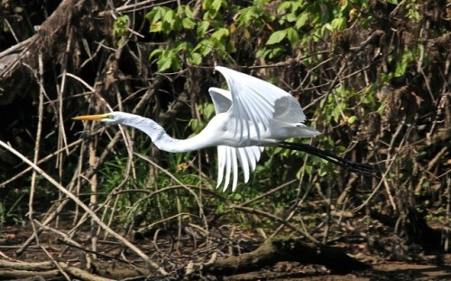 Great Egret 03 Bob Abraham New River Parrott Jul26 2015