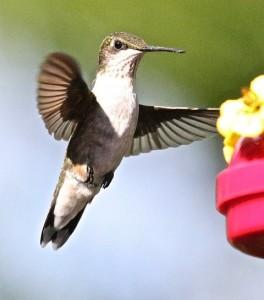 Hummingbird 5 Rvcd 9-8-15