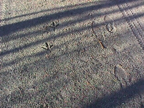 USED Jan04 New River Trail turkey tracks 12-21-03