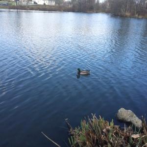 BIRDS - Mallard male VT Duck Pond Dec10 2015