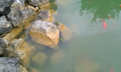 Two Green Frogs and goldfish Radford Hospital pond August 7, 2013