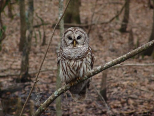 Photo Barred Owl USFWS USED Radio 382