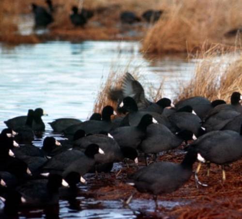 391 Image 2 Coot flock USFWS