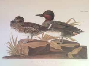 BIRDS - Green-winged Teal Audubon USED Radio 398