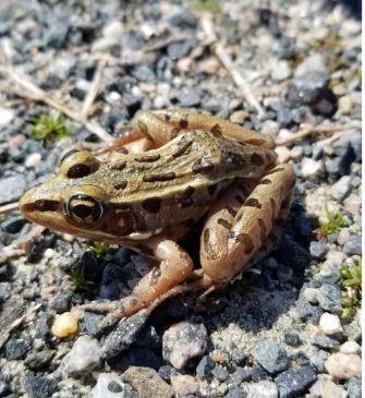 515 Image 1 Frog photo Inaturalist