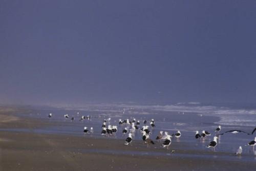 518 Image 3 Great Black-backed Gulls Va