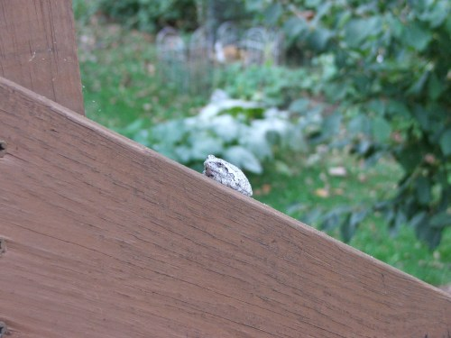 Gray Tree Frog on Raflo back deck Sep23 09 6 p.m. TWO USED GRouper 6-8-20